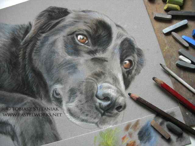 work in progress black labrador retriever pastel drawing by tobiasz stefaniak