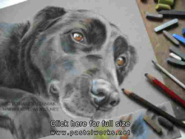work in progress black labrador retriever pastel drawing by tobiasz stefaniak www pastelworks net